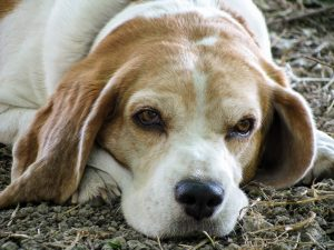 beagleallure