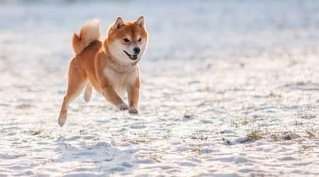 Chien Shiba inu, chien japonais