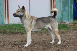 chien kishu