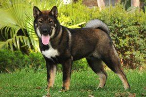 chien Shikoku